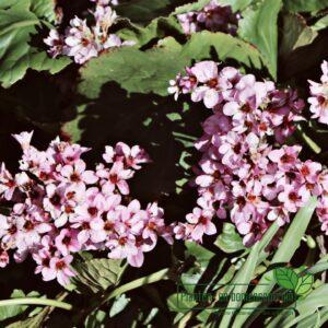 Bergenia corfordia 'Herbstblüte'