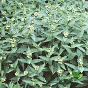 Diervilla sessilifolia 'Butterfly'