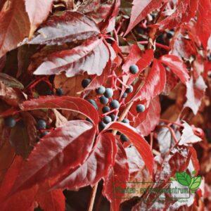 Parthenocissus quinqefolia.Engelmannii