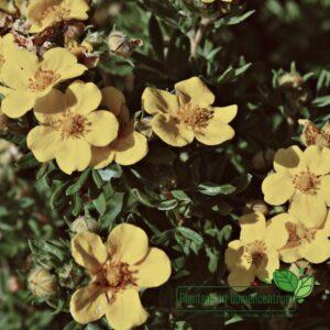 Potentilla fruticosa 'Jackman's Variety'