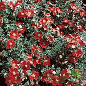 Potentilla fruticosa 'Red Ace'