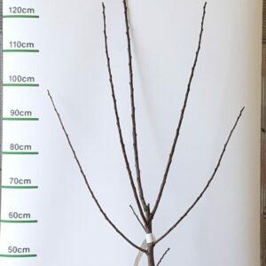 Prunus pruim Opal