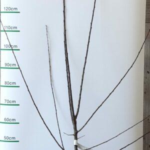 Prunus domestica 'Reine Claude de Bavay'