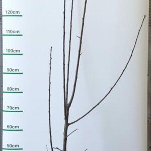 Prunus domestica ´Prune de Prince´