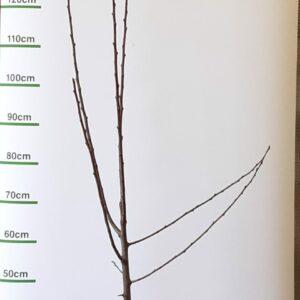 Prunus Reine Claude Conducta