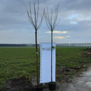 Prunus serrulata Kanzan 10/12 225 sth