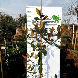 Magnolia grandiflora 'Double Nantes'